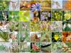 I 38 fiori secondo il DrBach
